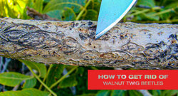 How to Get Rid of Walnut Twig Beetles