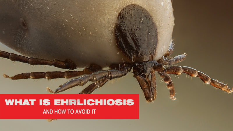 What Is Ehrlichiosis and How to Avoid It