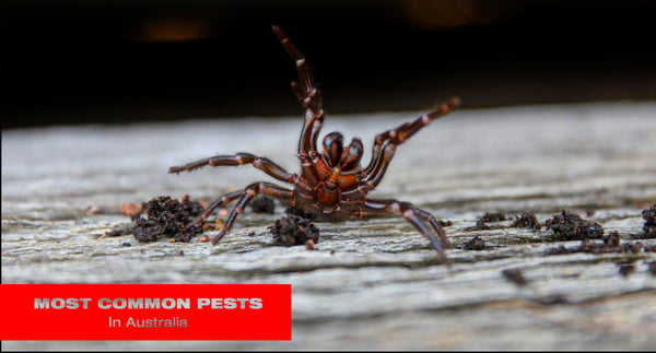 Most Common Pests in Australia - Sydney, Melbourne, Brisbane