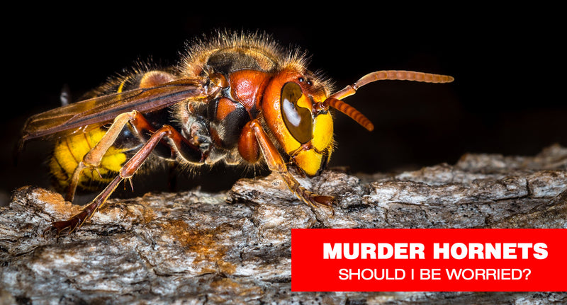 Should I Be Worried About Murder Hornets?