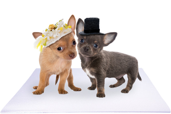 Bride and Groom Chihuahua Puppies on White Wedding Mat
