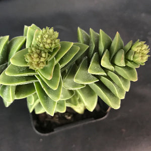 Crassula 'Spring Time' (green form)