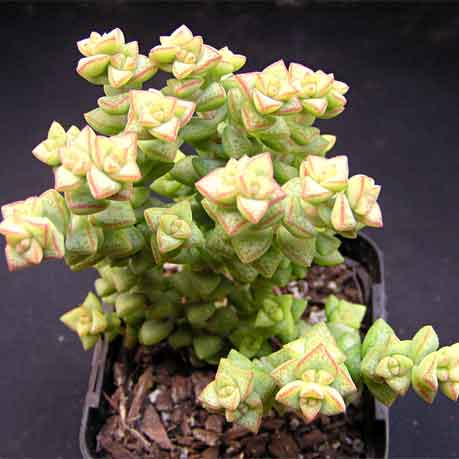 Crassula 'Tom Thumb'