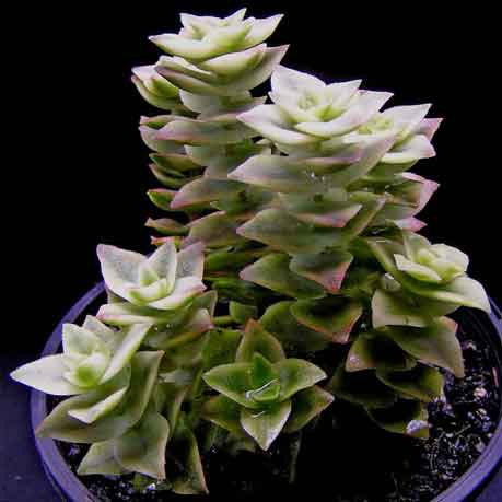 Crassula perforata (variegated)