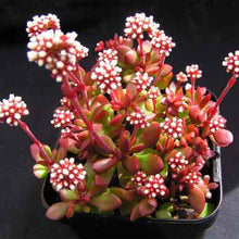 Load image into Gallery viewer, Crassula pubescens ssp. radicans