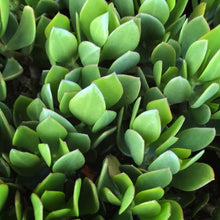 Load image into Gallery viewer, Crassula cephalophora