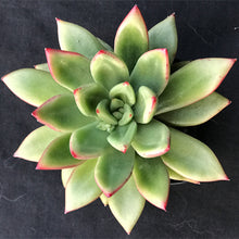 Load image into Gallery viewer, Echeveria  agavoides