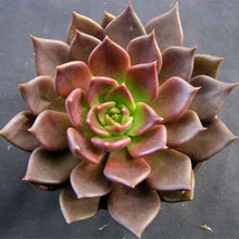 Load image into Gallery viewer, Echeveria 'Black Prince'