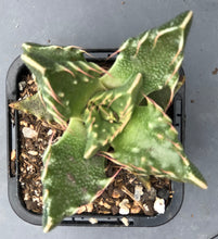 Load image into Gallery viewer, Faucaria tigrina Tiger Jaws