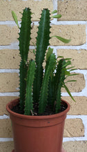 Load image into Gallery viewer, Euphorbia trigona African Milk Plant