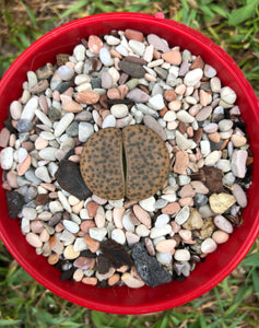 Lithops (unidentified)