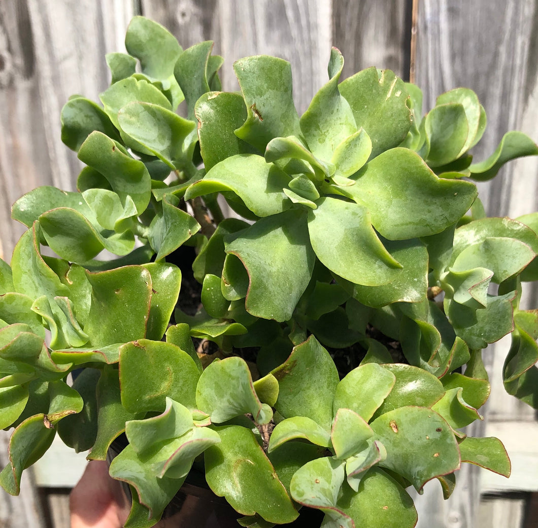 Crassula ovata undulatafolia Curly or Ripple jade