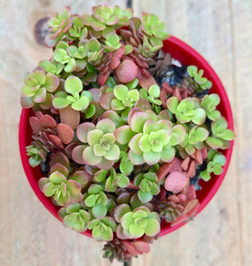 Sedum makinoi ogon Japanese golden sedum