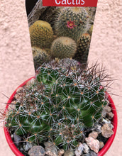 Load image into Gallery viewer, Pincushion Cactus: 7 variants