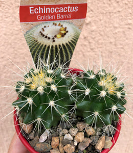 Echinocactus grusonii Golden Barrel