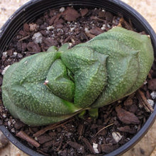 Load image into Gallery viewer, Gasteria armstrongii Spotted Black Variety