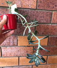 Load image into Gallery viewer, Graptopetalum paraguayense ssp bernalense