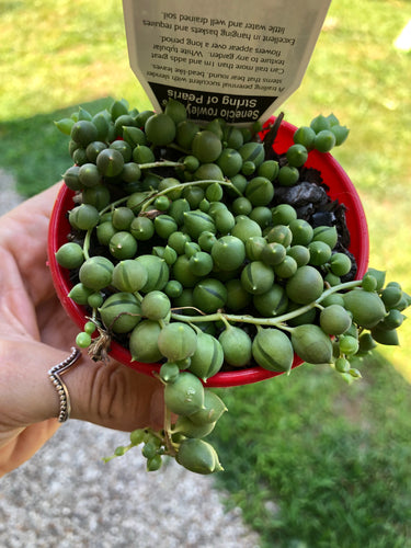 Senecio rowleyanus String of Pearls