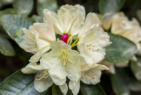 Chinese Rhododendron