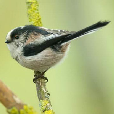 The Long-tailed tit