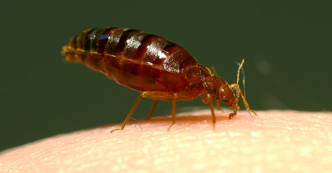 bedbug feeding on blood