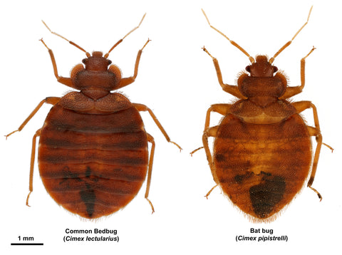 How Long Can Bed Bugs Go Without Blood