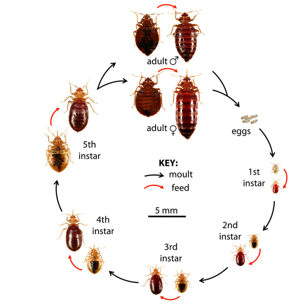 Bed Bug Identification Guide Convectex Bed Bug Heat Equipment