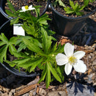 Anemone canadensis - Canada anemone