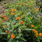 Asclepias tuberosa - Butterfly plant