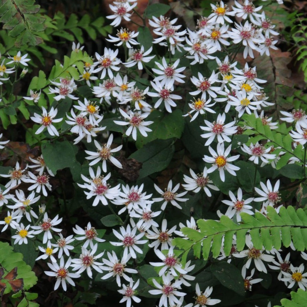 Eurybia divaricata - white wood aster