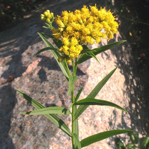 Euthamia graminifolia - Grass-leaved goldenrod