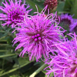 Liatris scariosa - Northern blazing star