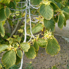 Hamamelis virginiana - Common witch hazel