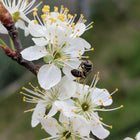 Prunus maritima - Beach Plum