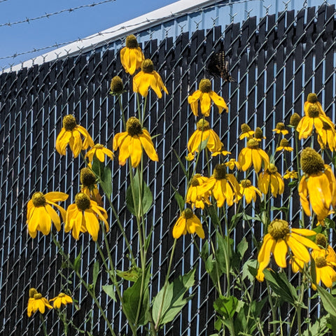 Ratibida pinnata - Grey-Headed Coneflower