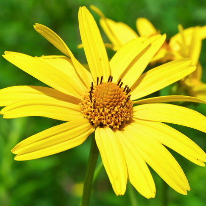 Helianthus divaricatus - Woodland sunflower