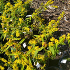 Solidago caesia - Blue stem goldenrod