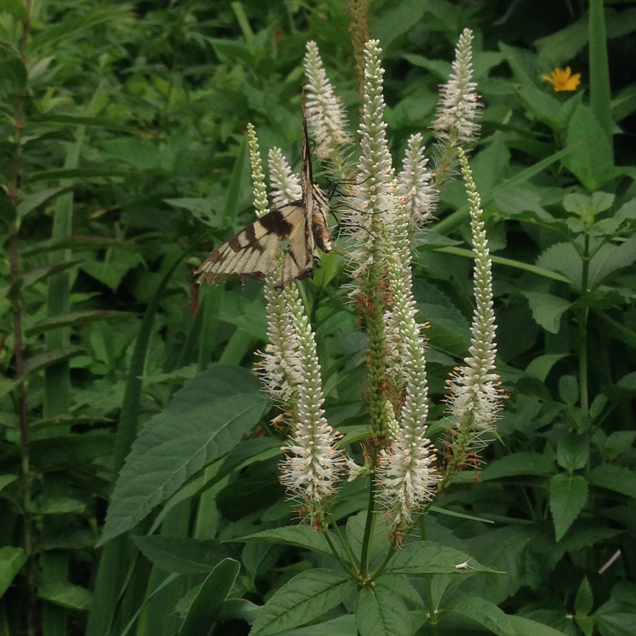 Veronicastrum virginicum - Culver's root