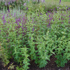 Agastache 'Black Adder' - Giant or anise hyssop