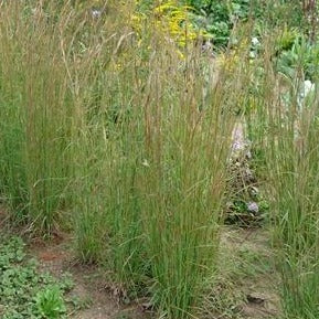 Andropogon virginicus - Broomsedge bluestem