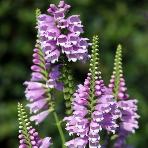 Physostegia virginiana - Obedient plant