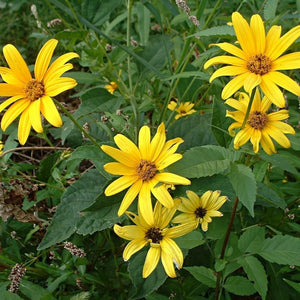Heliopsis helianthoides - False sunflower