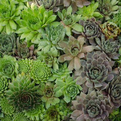Sempervivum tectorum - Hens and Chicks