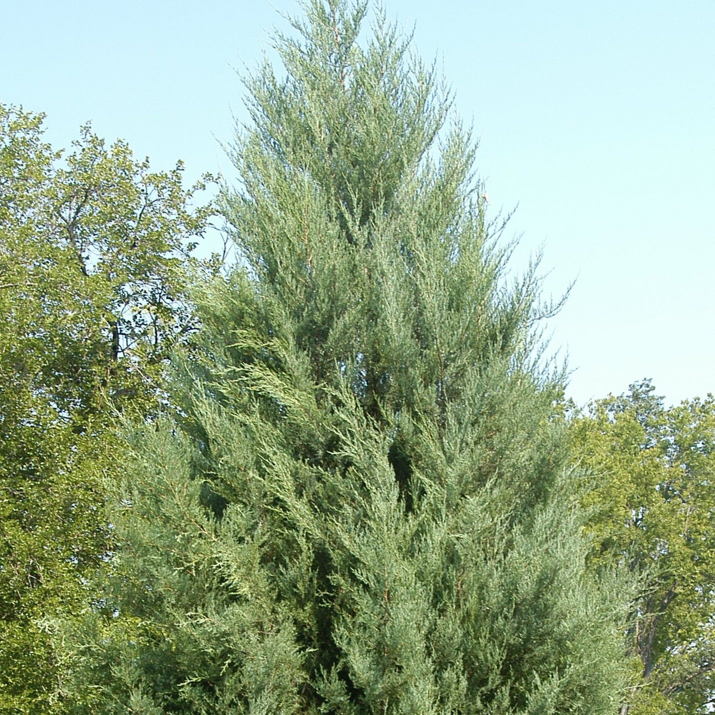 Juniperus virginiana - Eastern red cedar, Virginia juniper