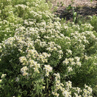Pycnanthemum virginianum - American mountain mint
