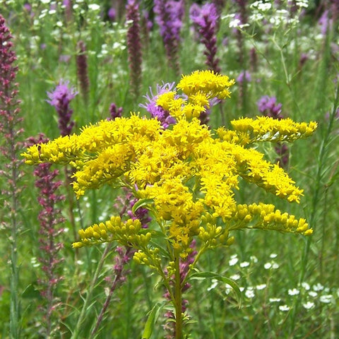 Solidago juncea - Early goldenrod