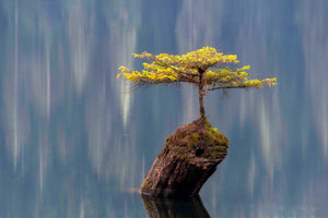 Fairy Lake Tree