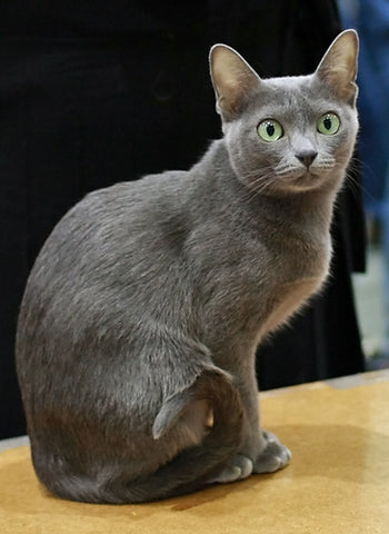 pussmeow.com-korat-cat