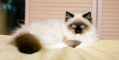 pussmeow.com-birman-cat