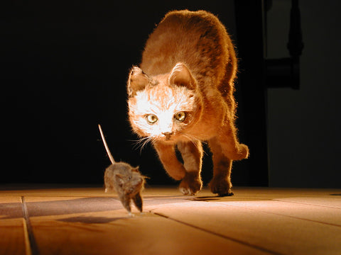 cat-chasing-mouse